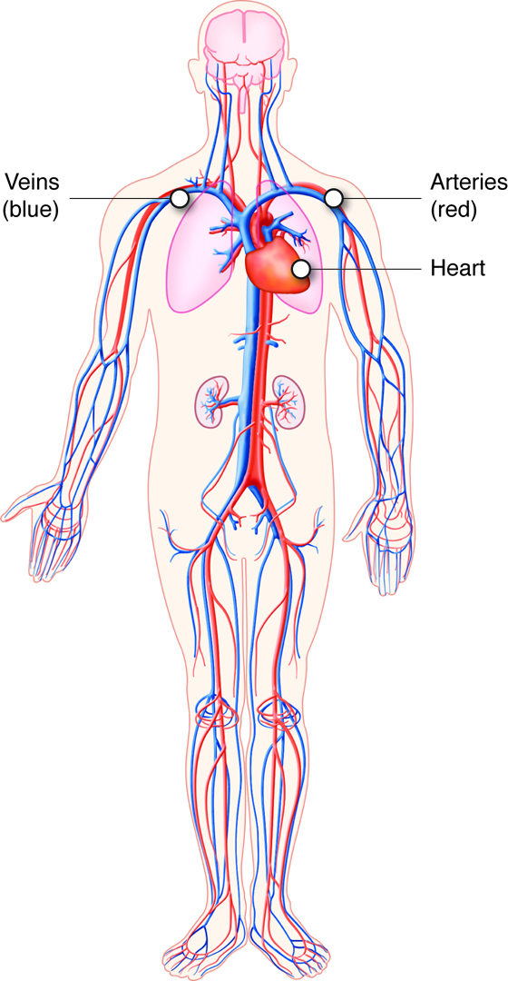 Stock Illustration Heart Attack Coronary Artery Disease Muscle Damage Due To Blood Clot Very Detailed Illustration Fatty Image51912469 also Kidney Location In Body as well Biology Form 5 Chapter 1 12 Circulatory System together with Royalty Free Stock Photos Frog Circulatory System Image1028468 together with AnPpost. on human circulatory system diagram