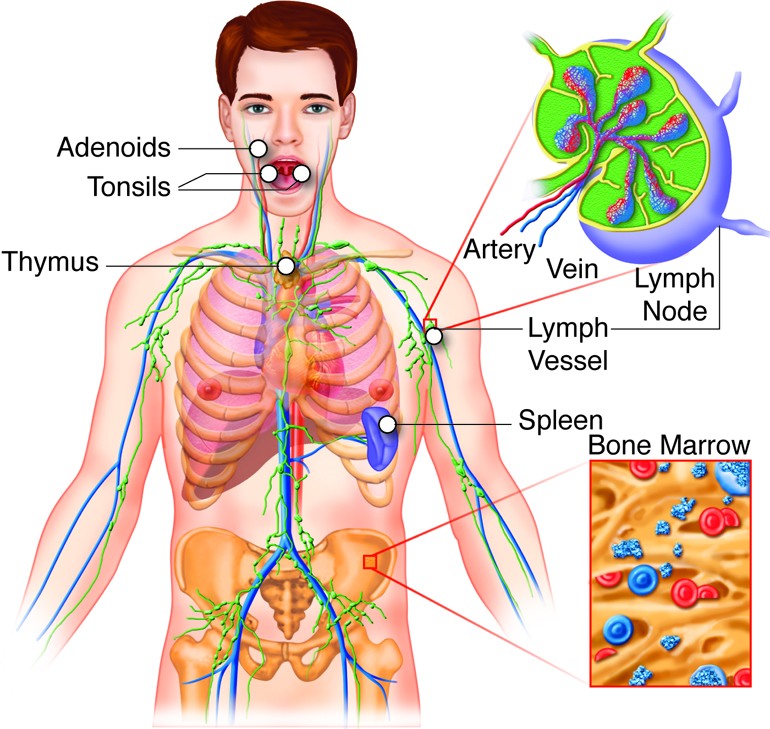 Großartig Anatomy And Physiology Of Immune System Ideen ...