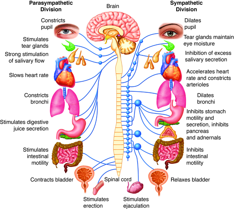 how to the muscular skletal and nervous system work together