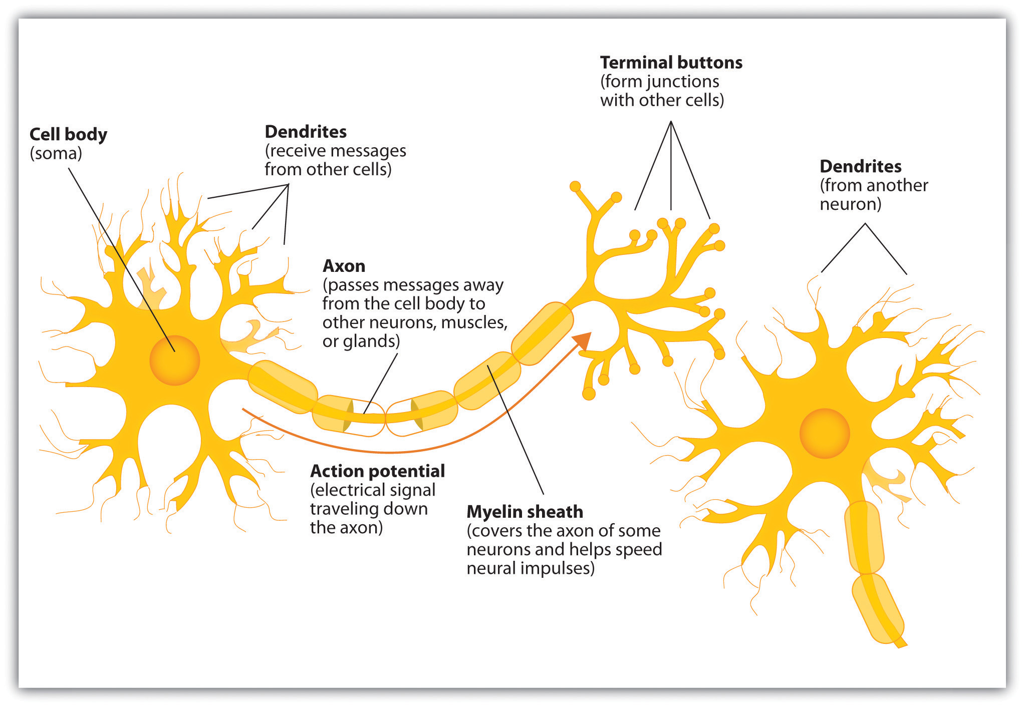 The neuron is the building block of the nervous system psychology 1 the neuron is the building block of the nervous system ccuart Choice Image
