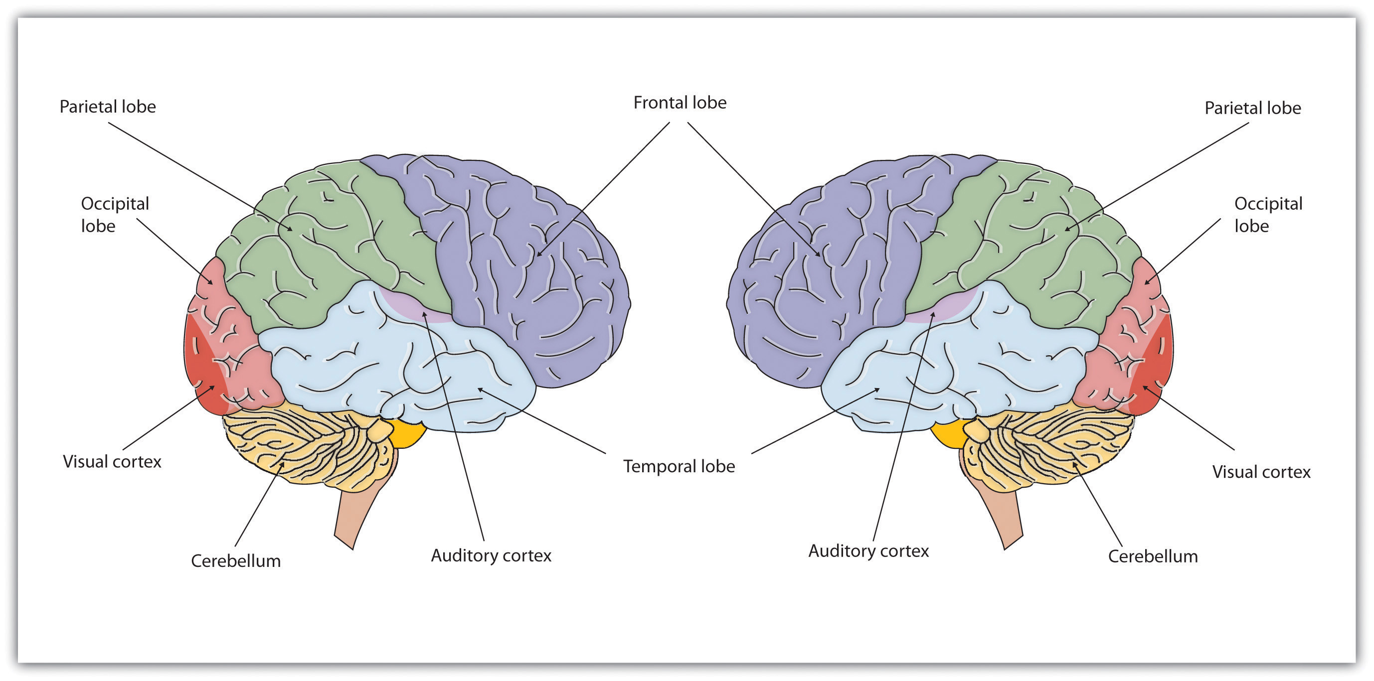Our brains control our thoughts feelings and behavior psychology 1 ccuart Images